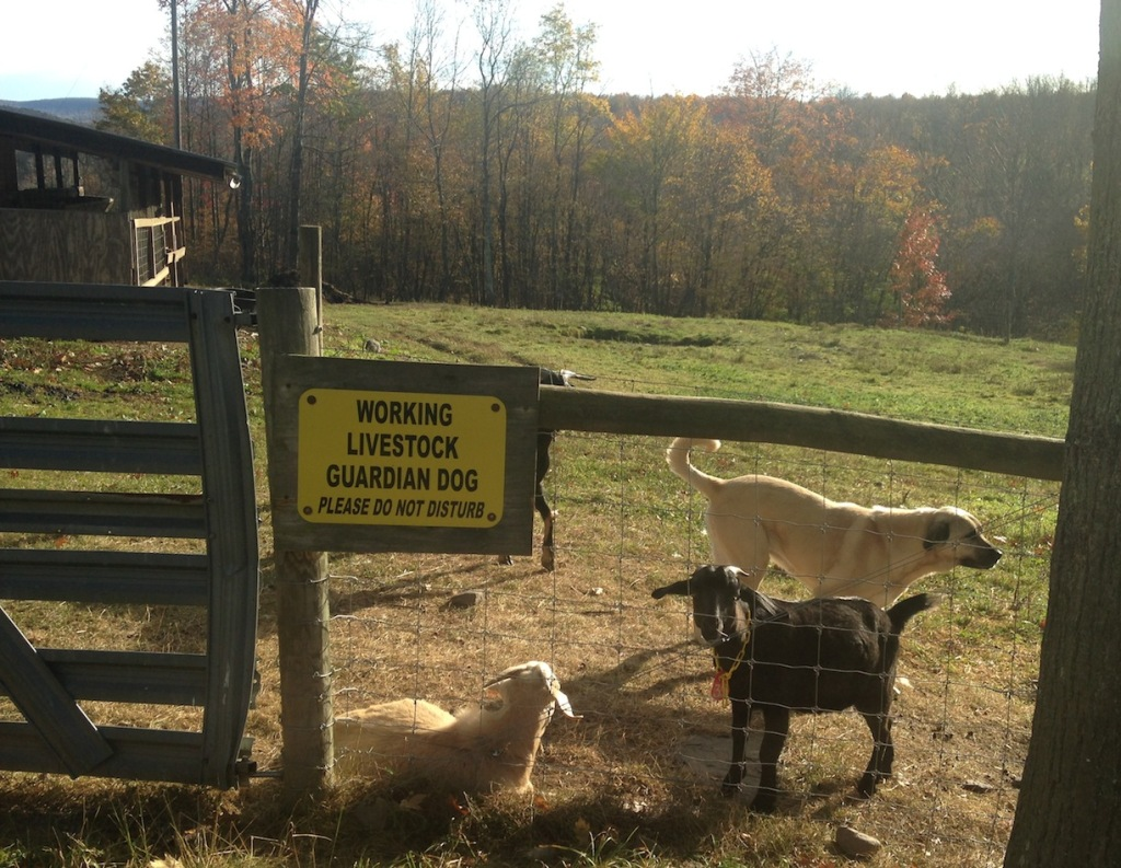 Dogs guard the goats and alpacas like family.