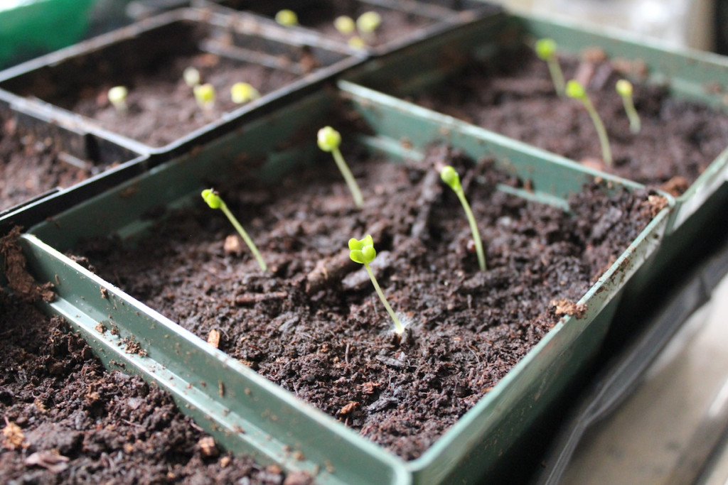 © J.N. Urbanski Sprouting seedlings planted on 15th March