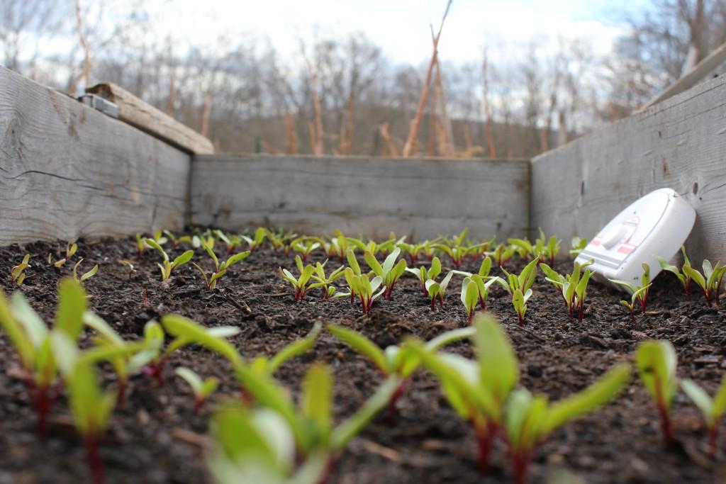 © J.N. Urbanski 12.30pm An army of beet seedlings